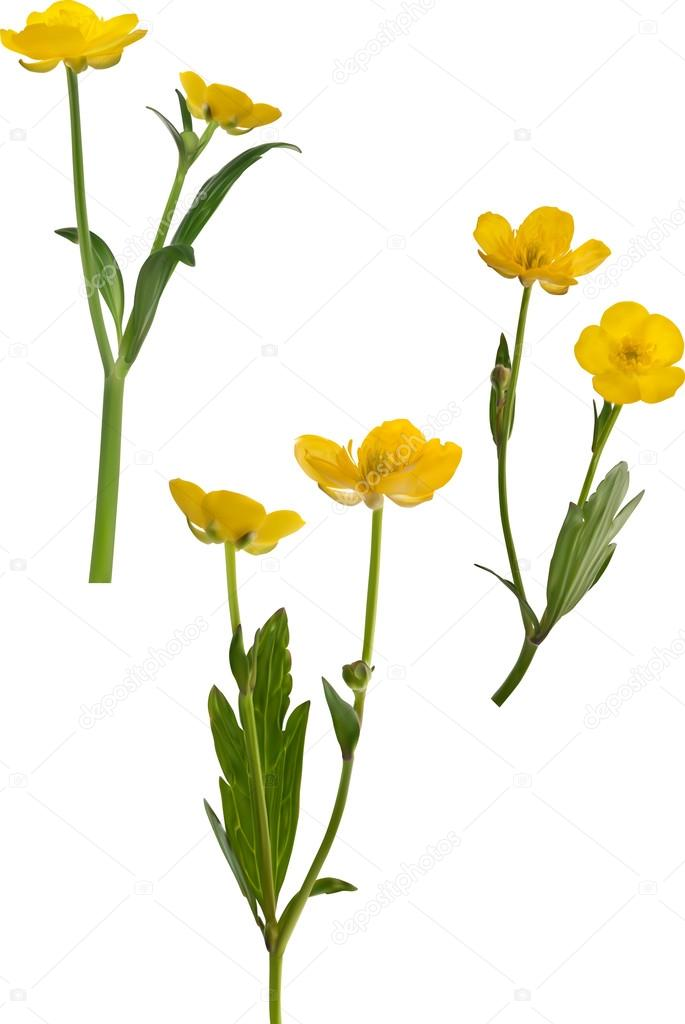 61a3c1f2fa4c7 Illustration with yellow buttercup flowers isolated on white background —  Vector by ...