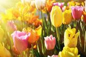 Beautiful Tulips blossom