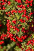 Fotografie Mature nice red hawthorn berries