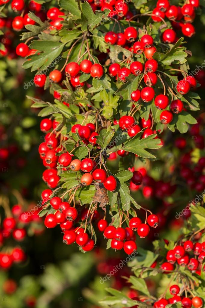 Mature nice red hawthorn berries