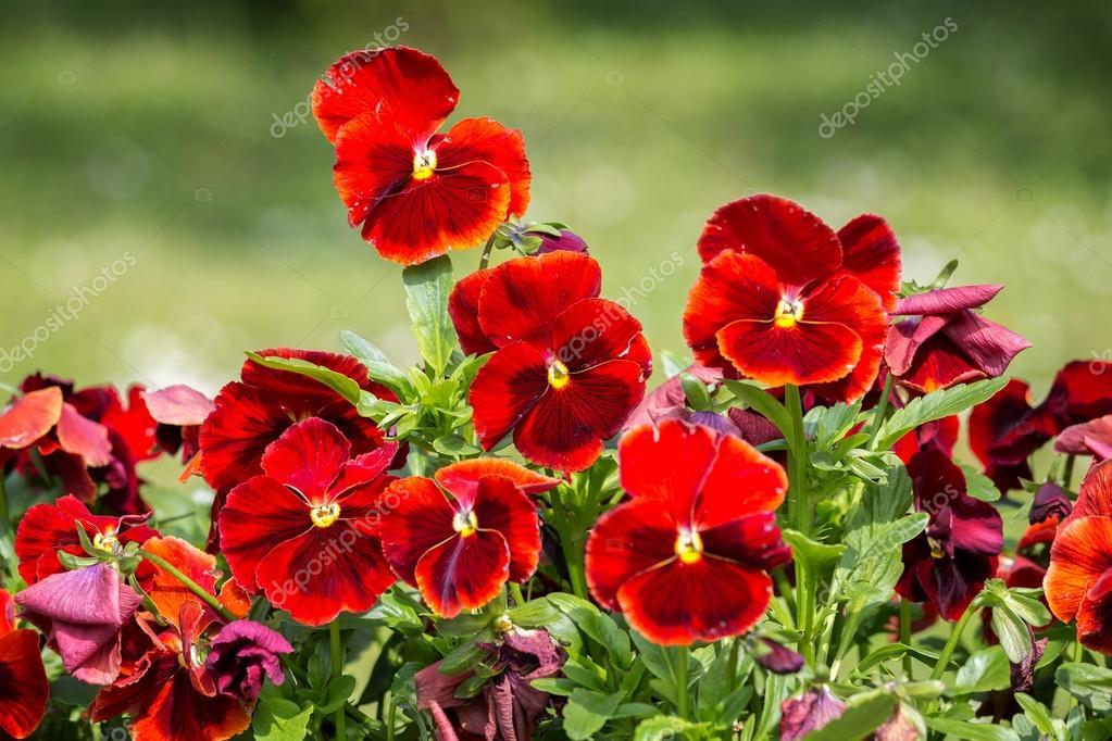 Red pansies in garden