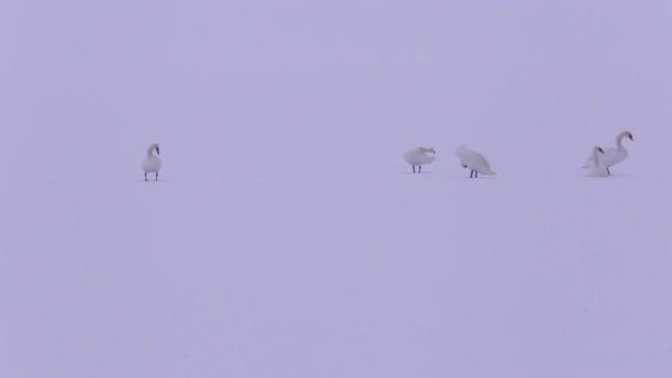 Néma hattyú télen