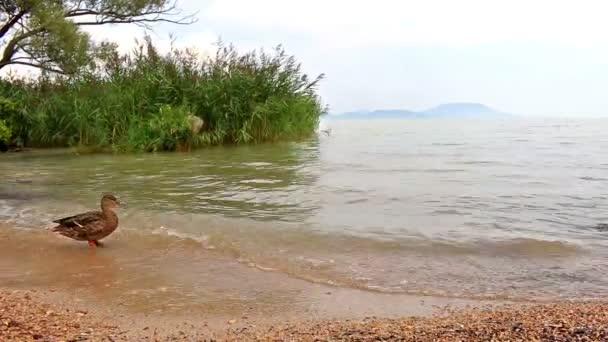 vadkacsa a Balaton