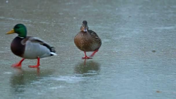Vadkacsák, séta a tó télen