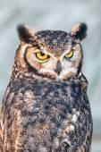 Fényképek Eurasian eagle-owl (Bubo bubo)