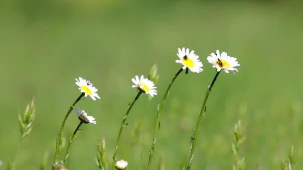 krásná Bílá sedmikráska roste v letní zahradě
