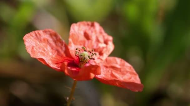 Mák virág közelről