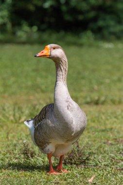 Beautiful goose portrait