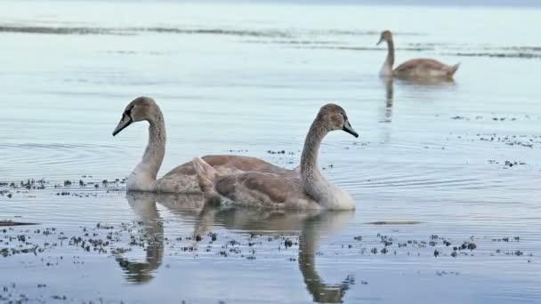 bílé labutě na vodě