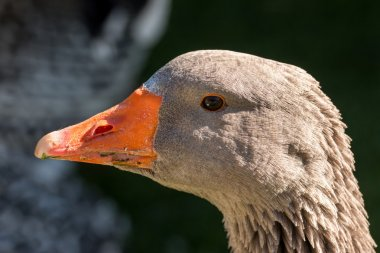 Goose portrait close up