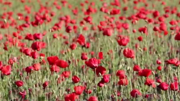maková pole na jaře