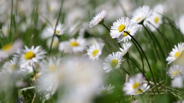 Krásná Bílá sedmikráska roste