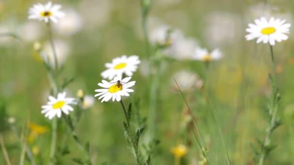 Bílá sedmikráska roste v letní zahradě. (Kopretina bílá)