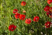 kvetoucí červené Vlčí máky