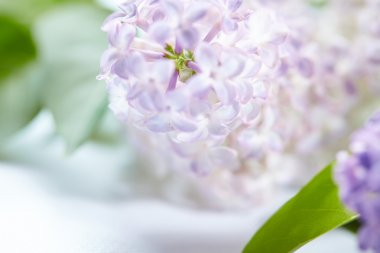 beautiful white and purple lilac flowers background