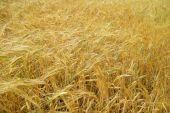 Fotografie pšeničné pole zblízka