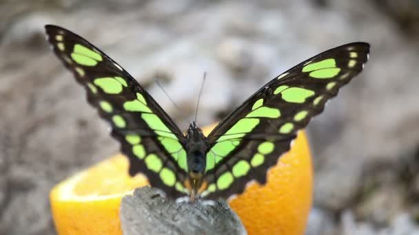 butterfly feeding with orange juice nature wildlife