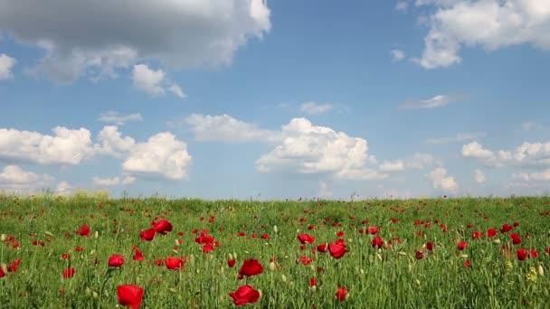mák květ a modrá obloha jarní louka krajina