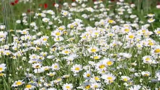 květy heřmánku jarní sezóny