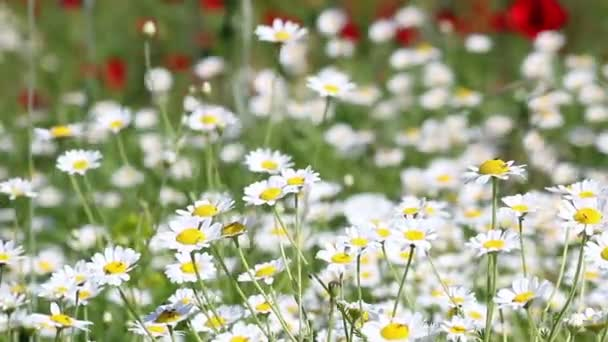 chamomile flowers meadow