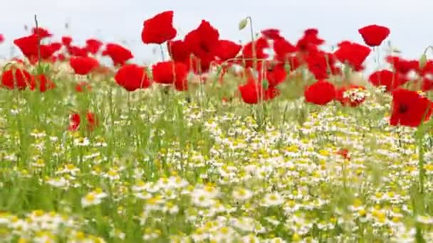 Chamomile and poppy flower meadow close up
