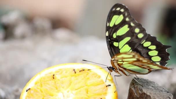 motýl krmení s pomerančovým džusem
