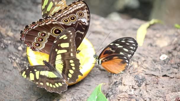 Motýli krmení s džusem