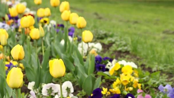 Yellow tulip flower garden spring season