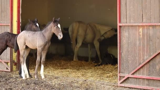 Lipizzaner Fohlen und Pferde