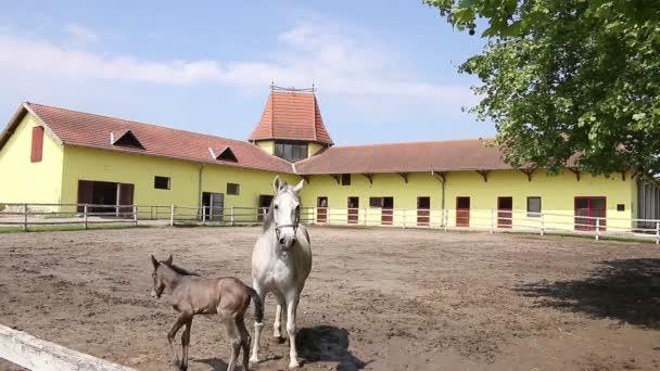 Lipizzaner Pferde und Fohlen in corral