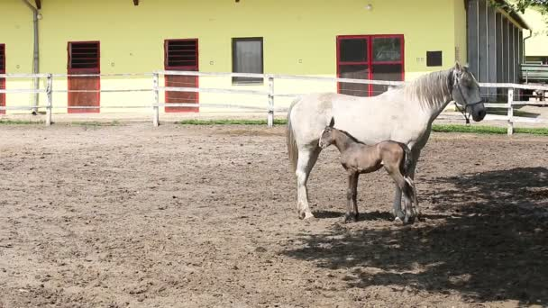 Lipizzaner horse and foal
