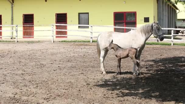 Lipizzaner Pferd und Fohlen