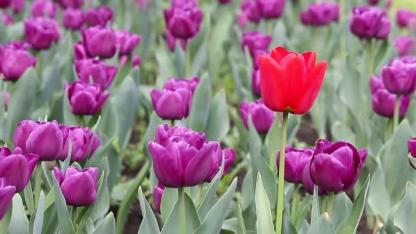 Garden with purple and one red tulip flower