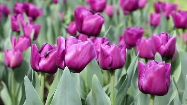 fialový Keukenhof zahrady jarní sezóny