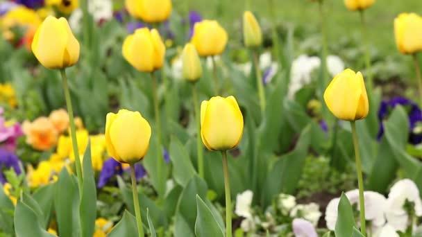 Tulip flower garden spring season