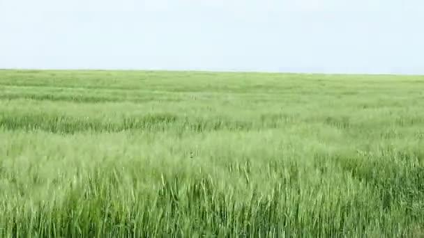 Szél fúj át egy mezőt, az árpa