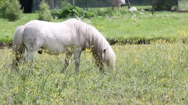 Kůň bílý poník