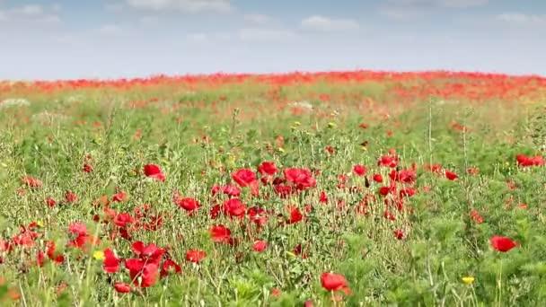 Vlčí máky kvetou na šířku pole