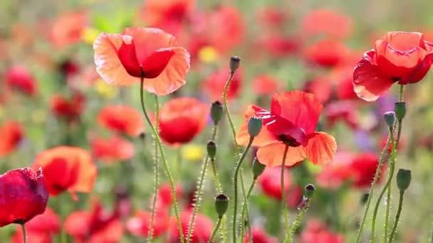 mák Květiny closeup letní sezóny