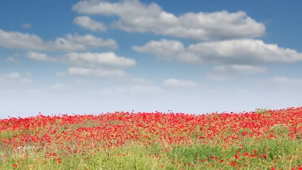 poppy flowers field and blue sky landscape
