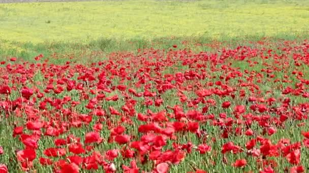 červeného máku a žlutá kytice luční