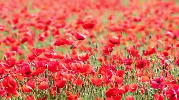Červené květy máku pole