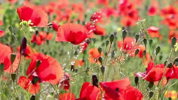 red poppy flowers nature background