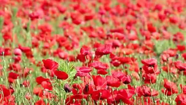 piros pipacs virágok tavaszi szezon