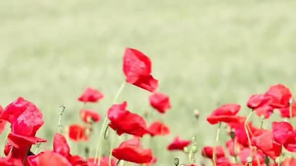 wind blowing over poppy flowers