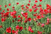 Red poppies flower spring season