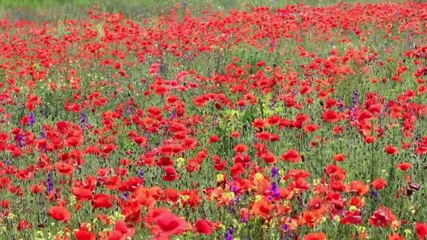 mák virág mező természet háttér