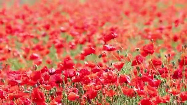Vlčí máky kvetou jarní sezóny