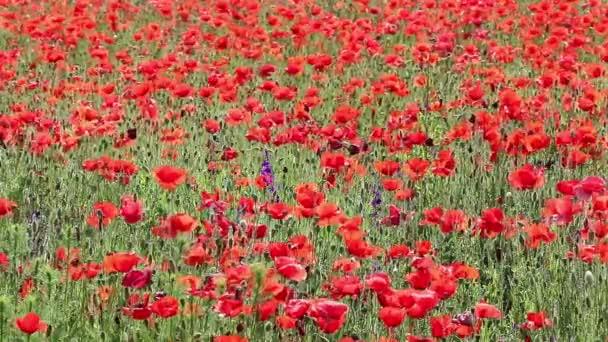 makový květ jarní sezóny