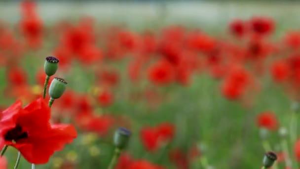 pole kvetoucí a tančící ve větru mák, makovém poli Prores 4.2.2. 10 bitů